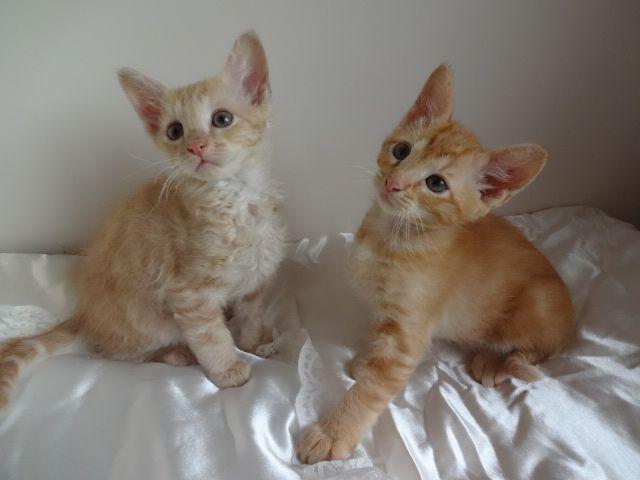 Laperm Kitten: Laperm Laperm Kittens For Sale Poole Breed