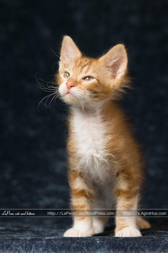 Laperm Kitten: Laperm Lapermkittensforsale Breed