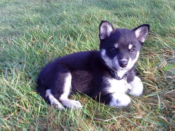 Lapponian Herder Puppies: Lapponian Breed