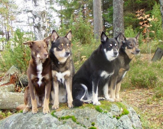 Lapponian Herder Puppies: Lapponian Lapponian Herder Dog Breed