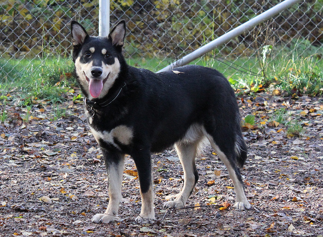 Lapponian Herder Dog: Lapponian Lapponian Herder Dog For A Walk Breed