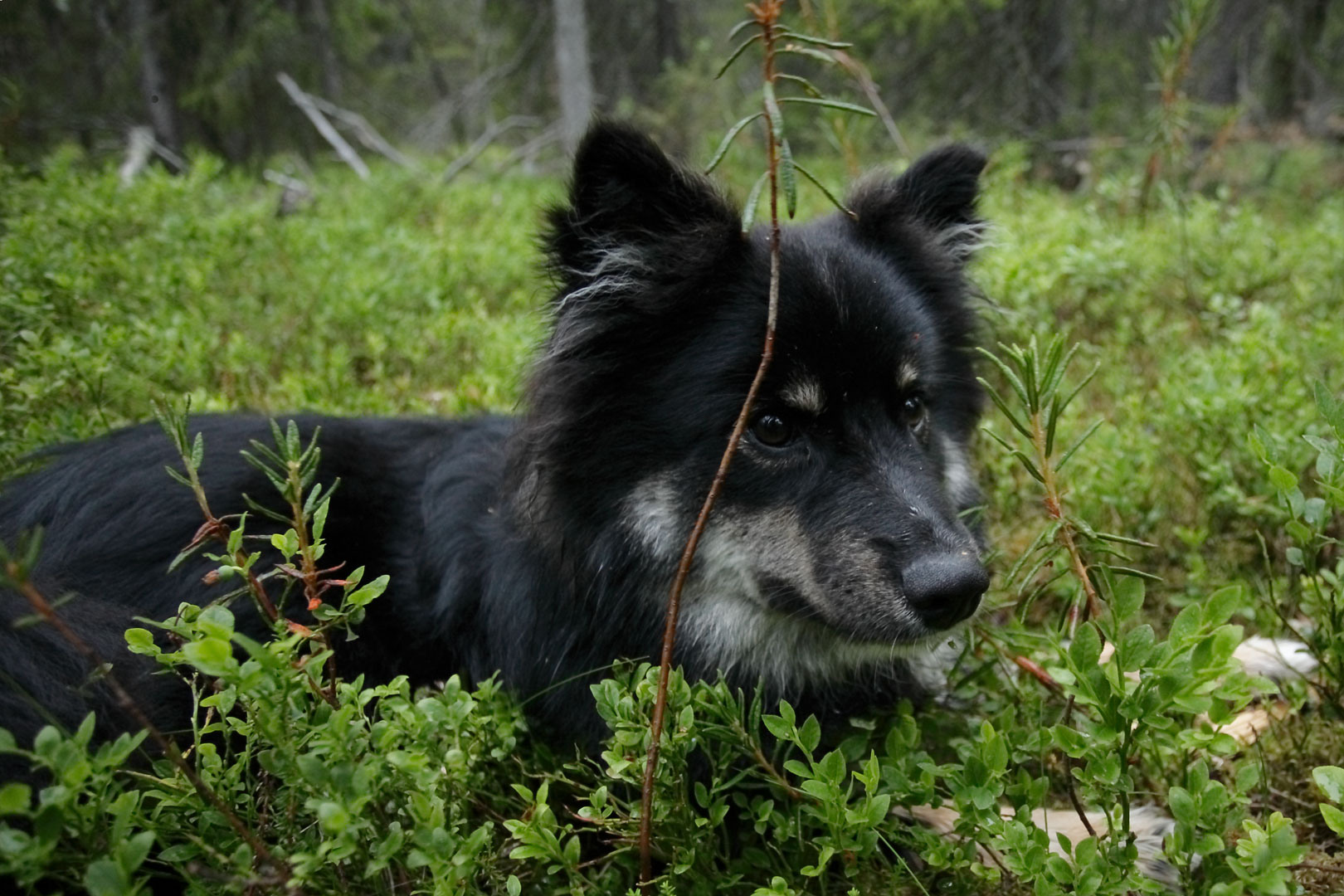 Lapponian Herder Dog: Lapponian Lapponian Herder Dog In The Grass Breed