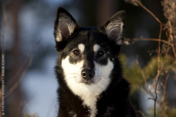 Lapponian Herder Dog: Lapponian Lapponian Herder Dog Portrait Breed