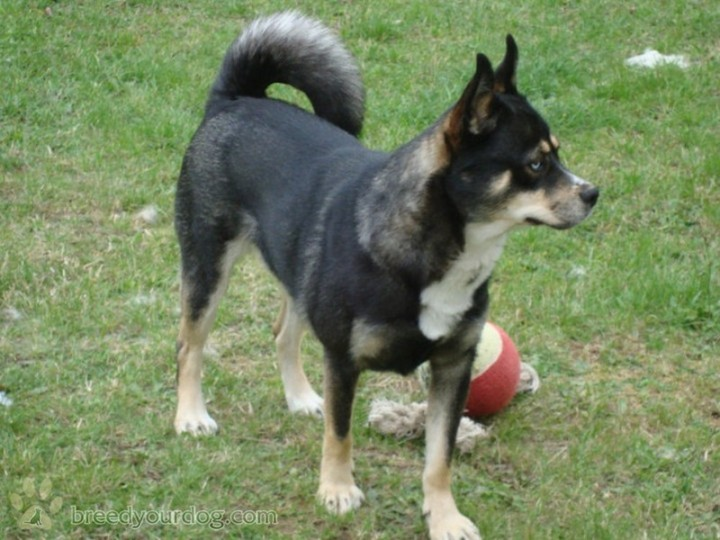 Lapponian Herder Puppies: Lapponian Lapponian Herder Mixed Breed