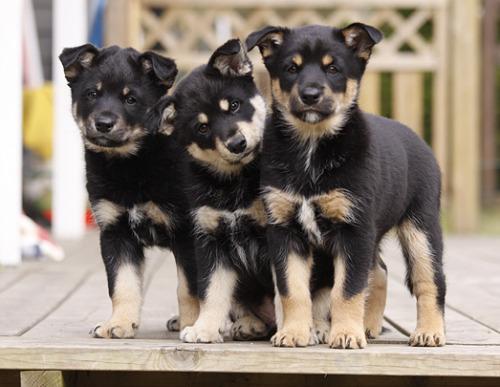 Lapponian Herder Puppies: Lapponian Lapskvallhund Breed