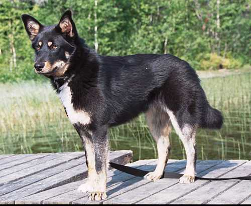 Lapponian Herder Puppies: Lapponian Lovely Lapponian Herder Dog Breed
