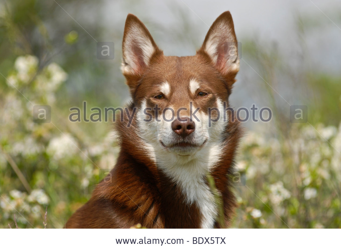 Lapponian Herder Dog: Lapponian Stock Lapponian Herder Lapinporokoira Or Lapp Reindeer Dog Portrait In A Breed