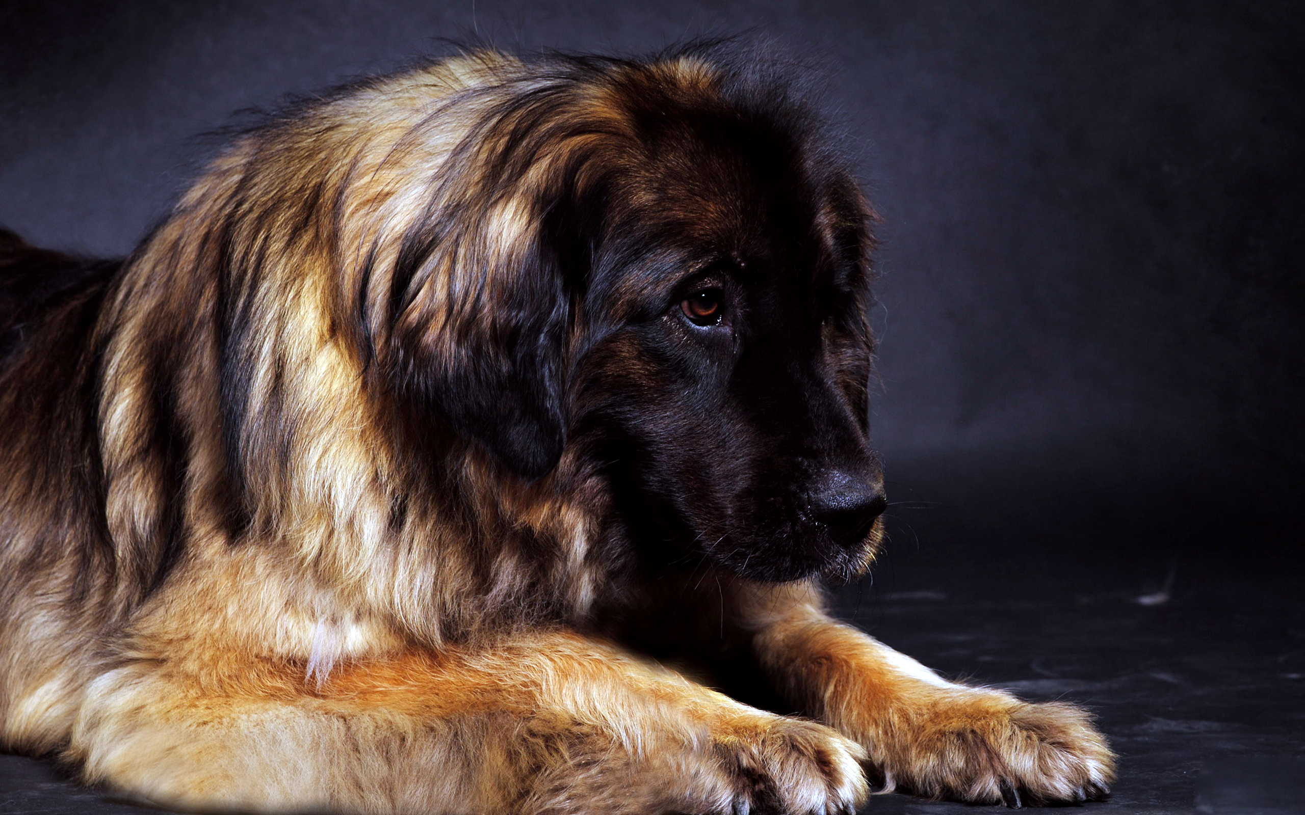 Leonberger Dog: Leonberger Best Leonberger Dog Free Download Breed