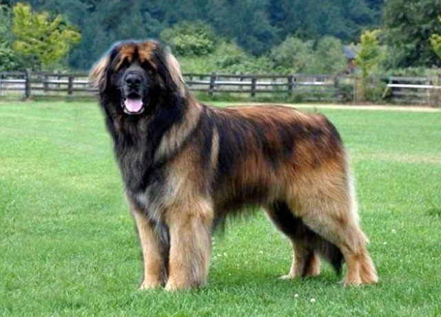 Leonberger Dog: Leonberger Leonberger Dog And Puppies Breed