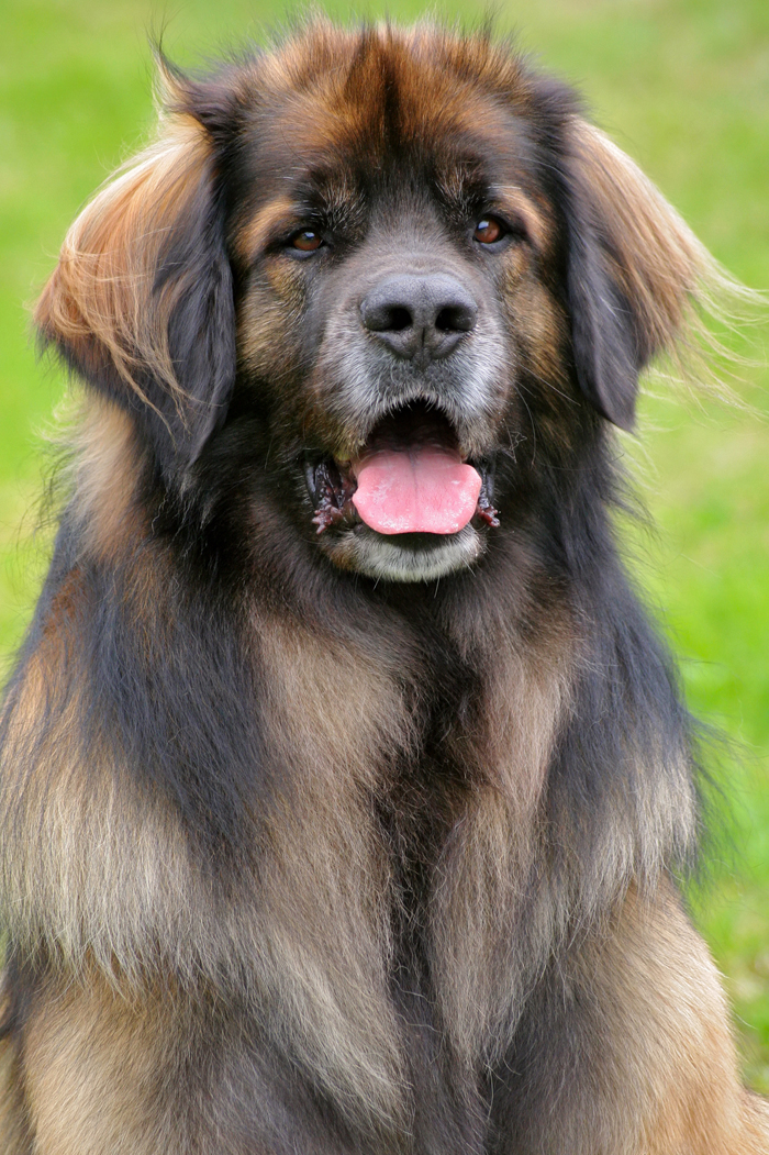 Leonberger Dog: Leonberger Leonberger Dog Breed Pictures