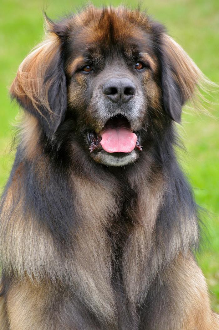 Leonberger Dog: Leonberger Leonberger Dog Breed Pictures