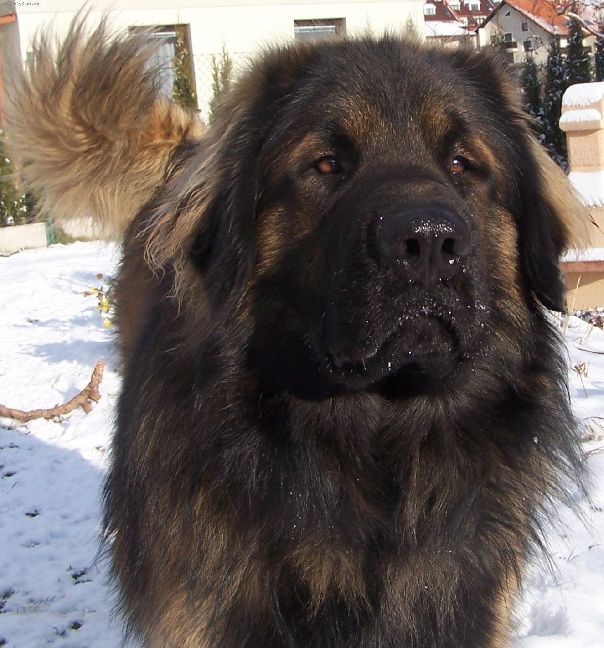 Leonberger Dog: Leonberger Leonberger Dog Breed