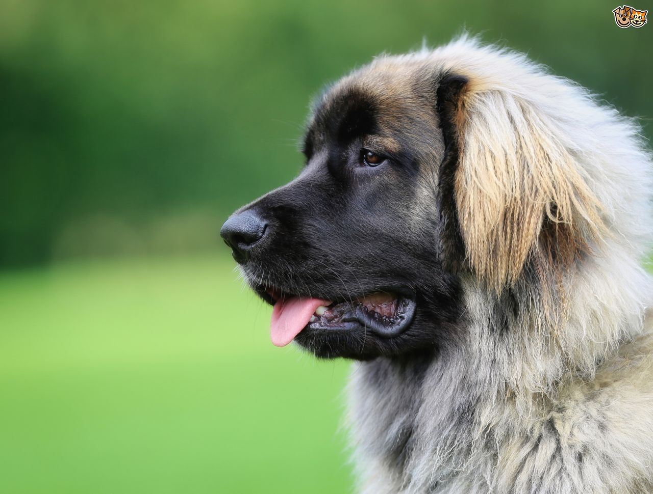 Leonberger Dog: Leonberger Leonberger Dog Health And Longevity Breed