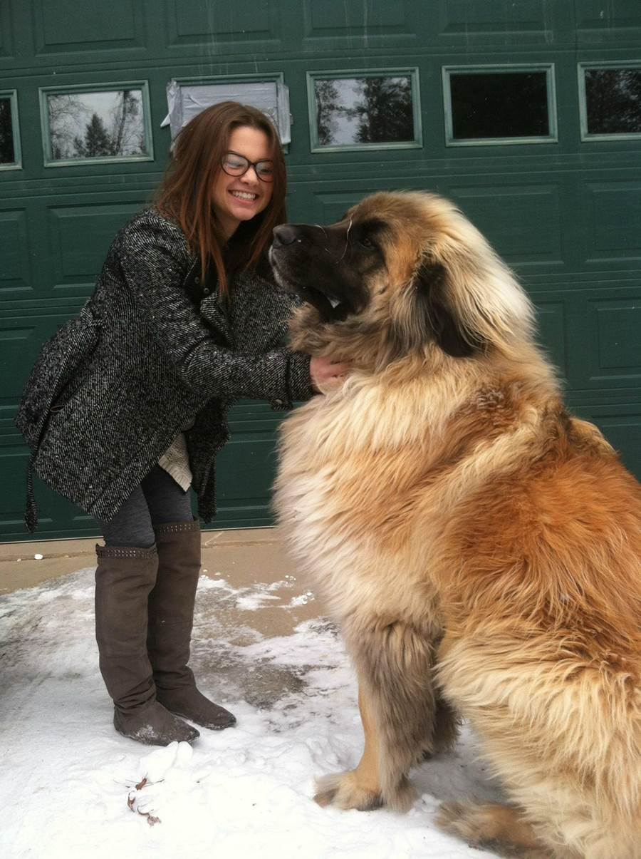 Leonberger Dog: Leonberger Leonberger Giant Dog Breed T