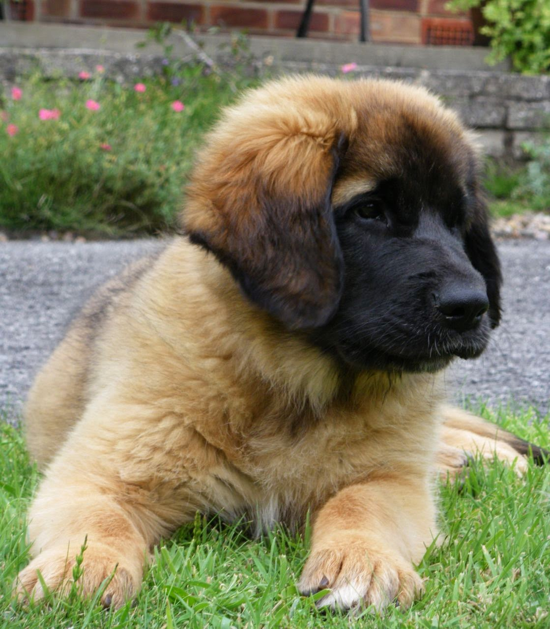 Leonberger Puppies: Leonberger Leonberger Puppies Breed