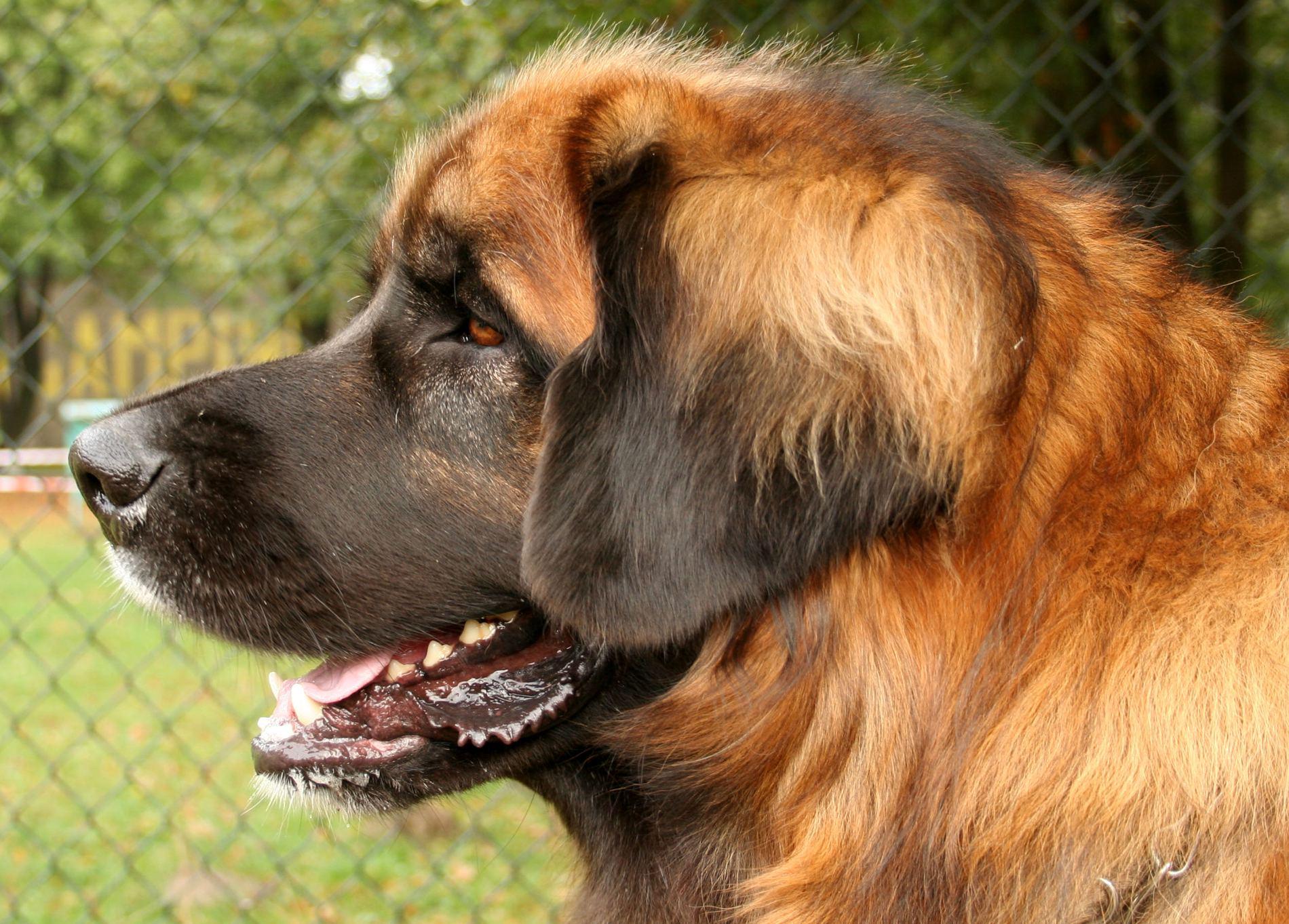 Leonberger Dog: Leonberger View Leonbergerdog Other Breed