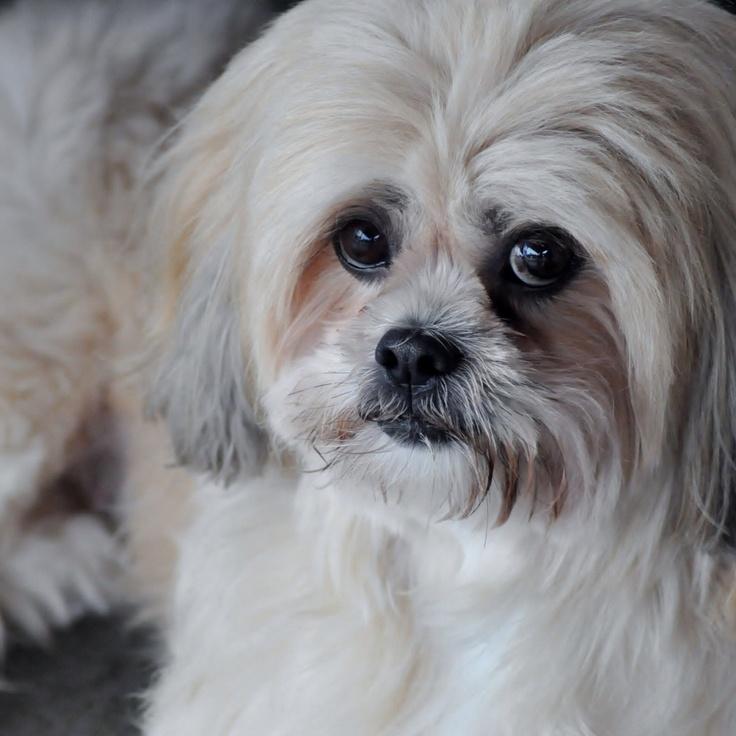 Lhasa Apso Dog: Lhasa Dog Breed Lhasa Apso S Hd Lhasa Apso Dog Lhasa Apso Dogs Pinterest