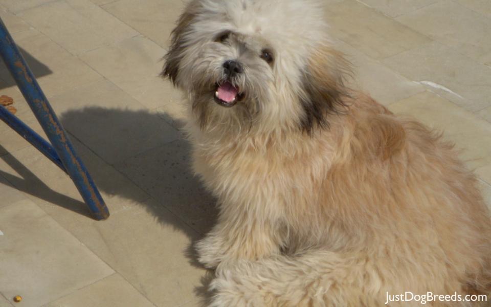 Lhasa Apso Dog: Lhasa Lhasa Apso Breed
