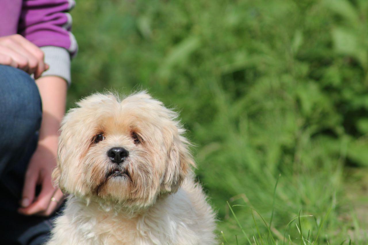 Lhasa Apso Dog: Lhasa Lhasa Apso Dog Richmond Breed