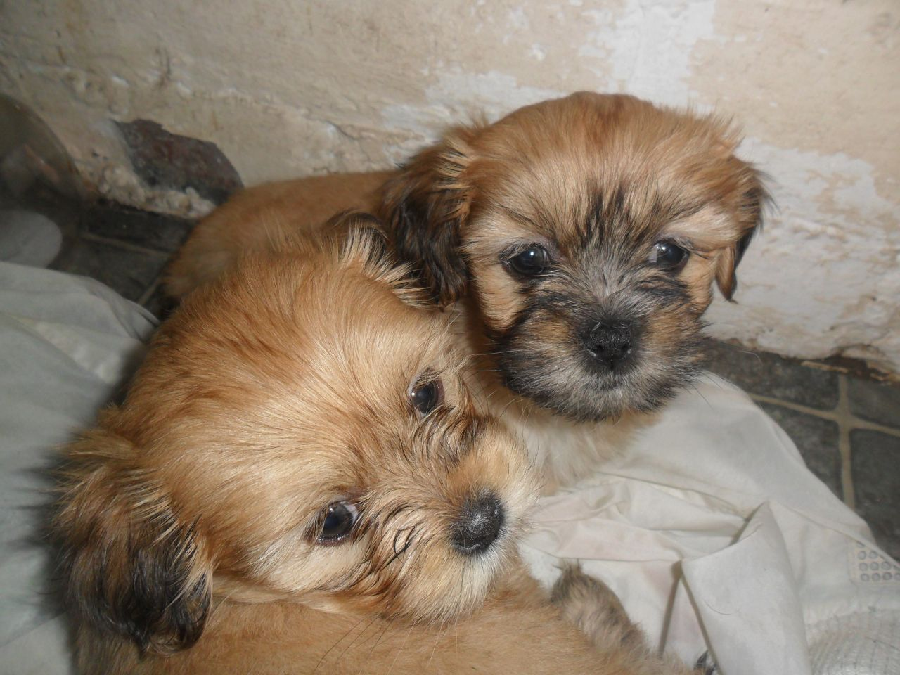 Lhasa Apso Puppies: Lhasa Lhasa Apso Puppies Ayr Breed