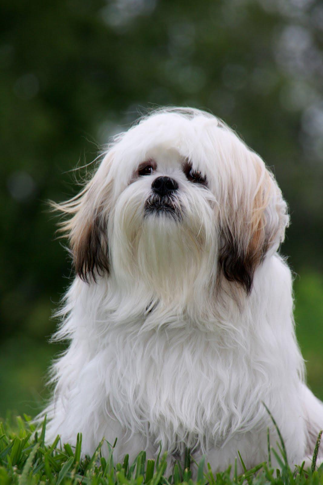 Lhasa Apso Dog: Lhasa Lhasa Apso Puppies Pictures Breed