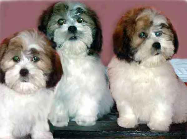 Lhasa Apso Puppies: Lhasa Lhasa Apso Puppies Pictures Information Breed