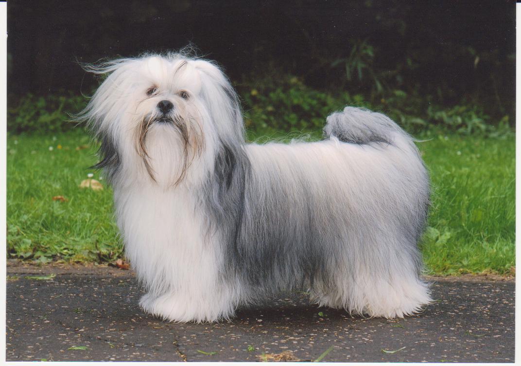 Lhasa Apso Dog: Lhasa Lhasa Apso Puppy Care Breed