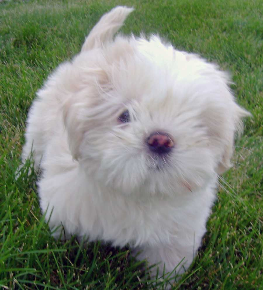 Lhasa Apso Puppies: Lhasa Lhasa Apso Puppy S Breed