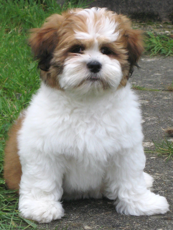 Lhasa Apso Dog: Lhasa Lhasa Apso S Breed