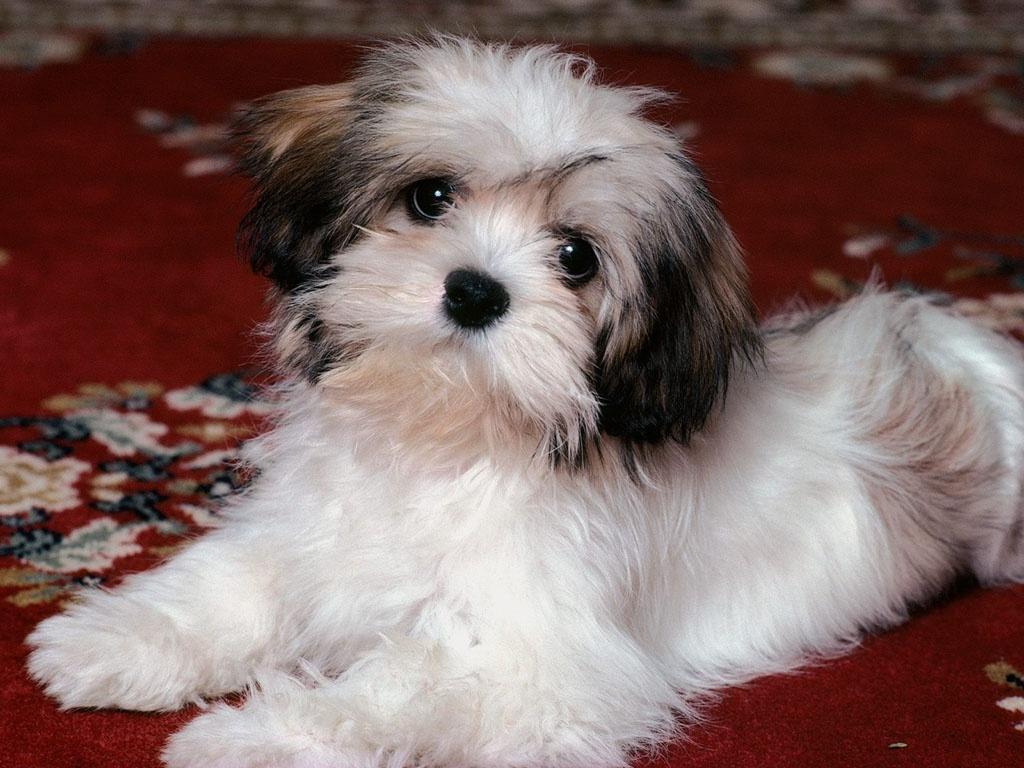 Lhasa Apso Dog: Lhasa Lhasaapsodog X Breed
