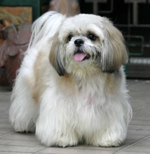 Lhasa Apso Dog: Lhasa Puppy Cut Lhasa Apso Breed