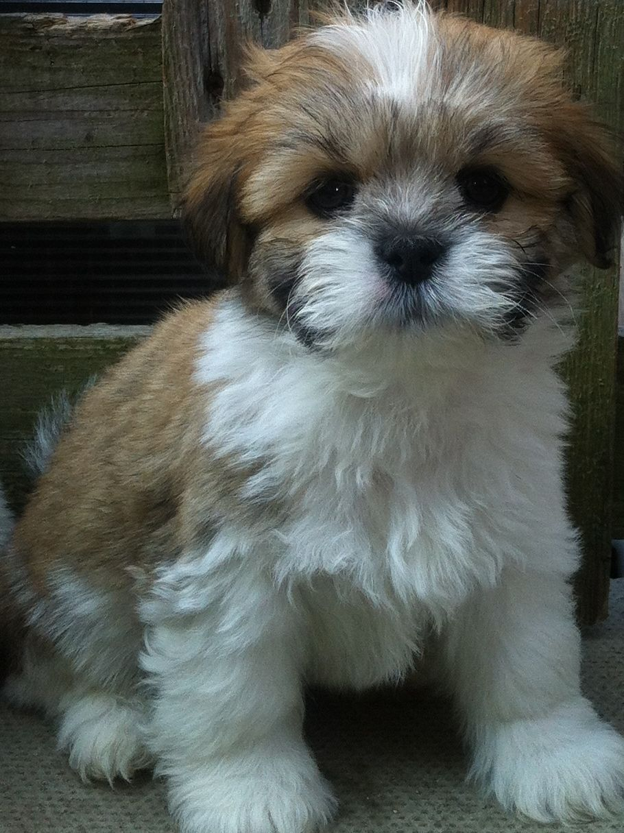 Lhasa Ready Now Apso Puppies Barnsley Breed