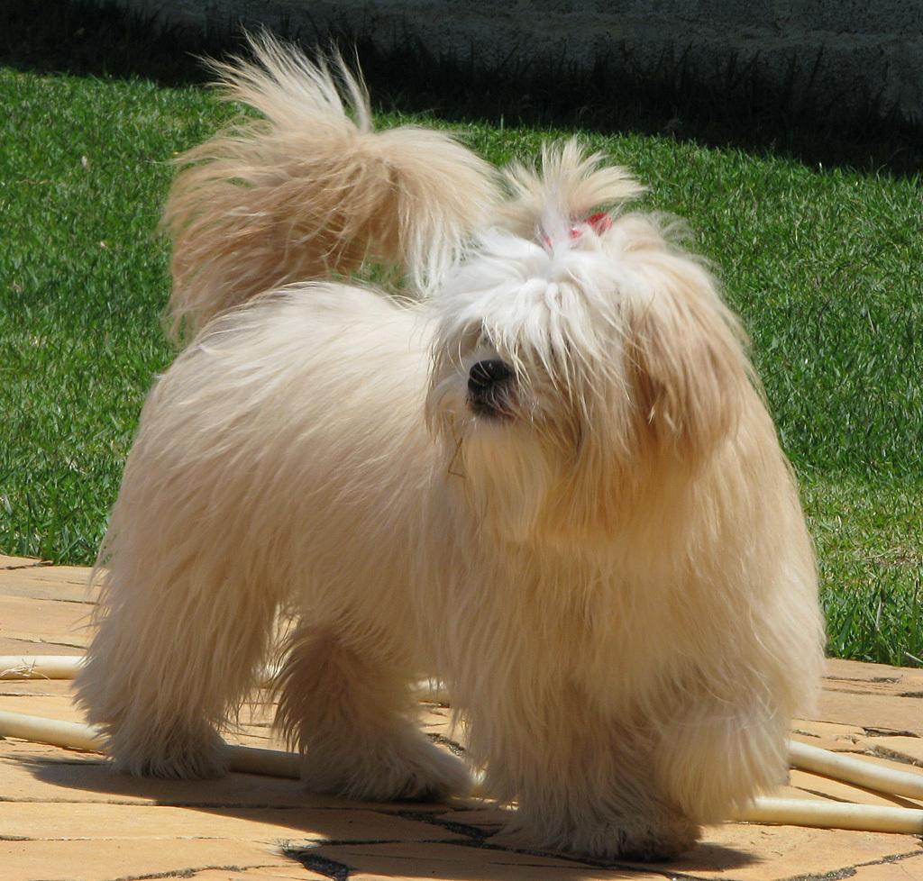Lhasa Apso Dog: Lhasa Show Dog Screencap Breed