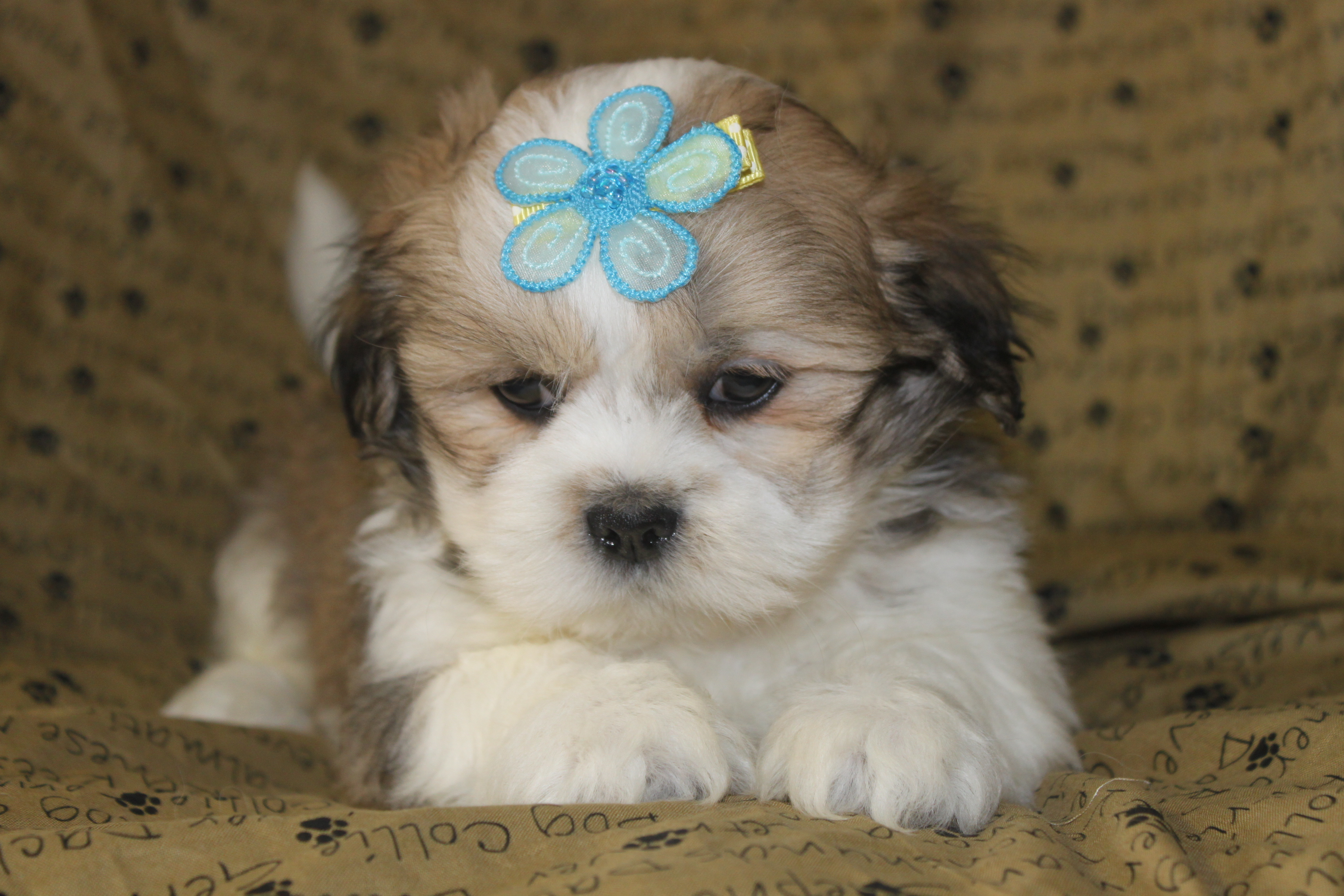 Lhasa Apso Puppies - Puppy Dog Gallery