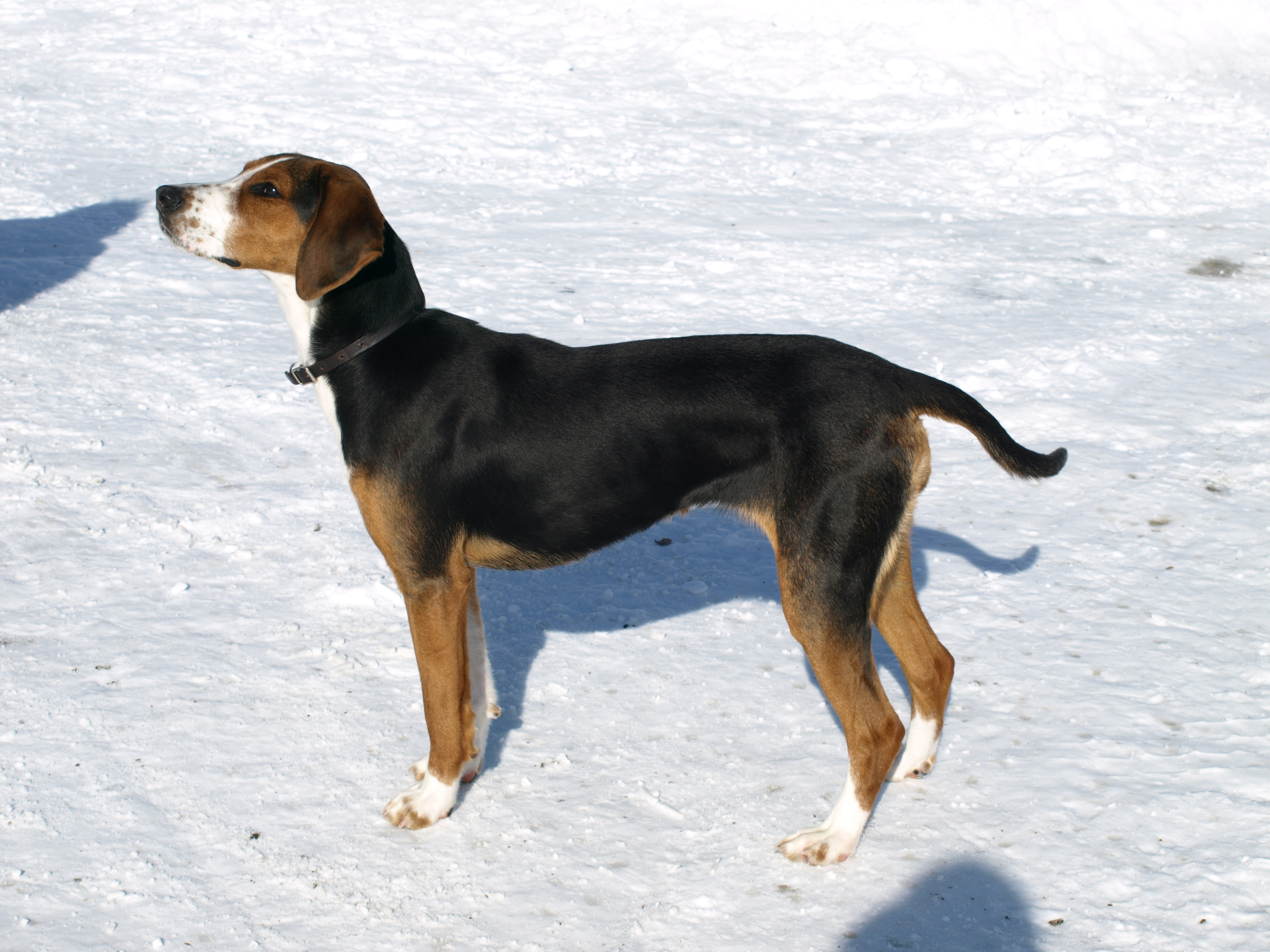 Lithuanian Hound Puppies: Lithuanian Dic Breed