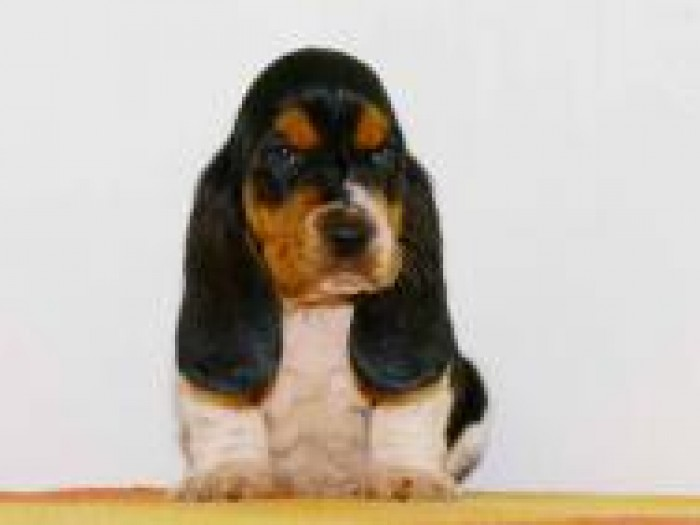 Lithuanian Hound Puppies: Lithuanian Engad Breed