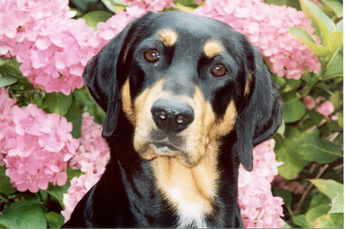 Lithuanian Hound Dog: Lithuanian Hungarian Hound Transylvanian Scenthound Dog Standard Breed
