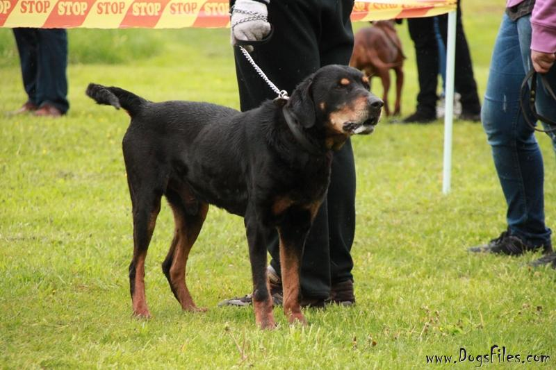 Lithuanian Hound Puppies: Lithuanian Lithuanian Hound Puppies Breed