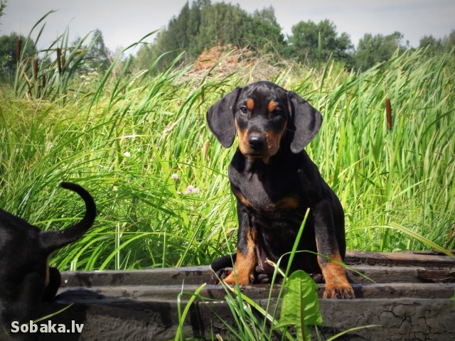 Lithuanian Hound Dog: Lithuanian Lovely Lithuanian Hound Dog Breed