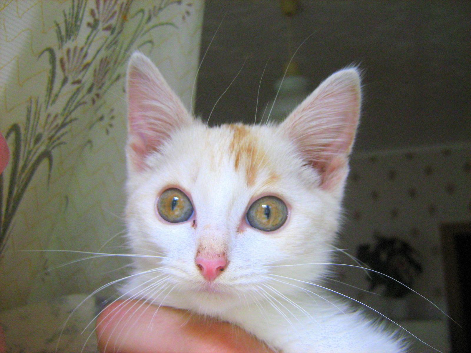 Russian White Kitten: Little White Kitten Breed