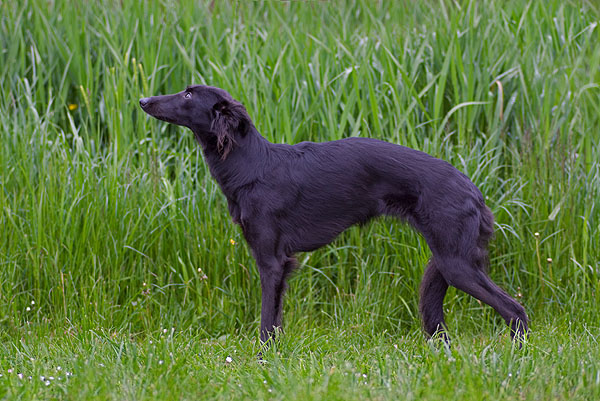 Longhaired Whippet Dog: Longhaired About Longhaired Whippets Breed