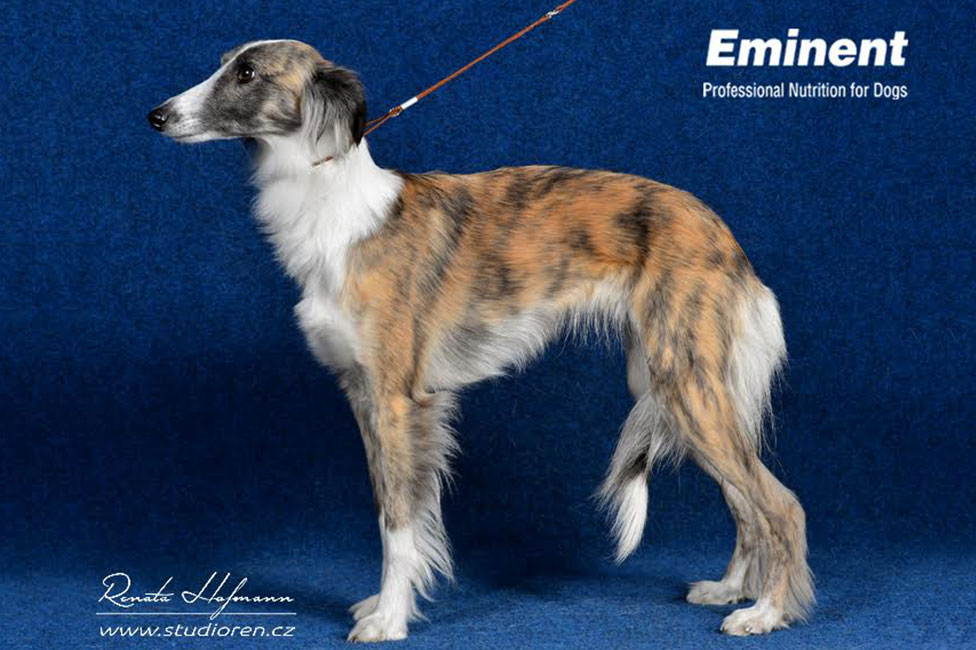 Longhaired Whippet Puppies: Longhaired Breisy Breed