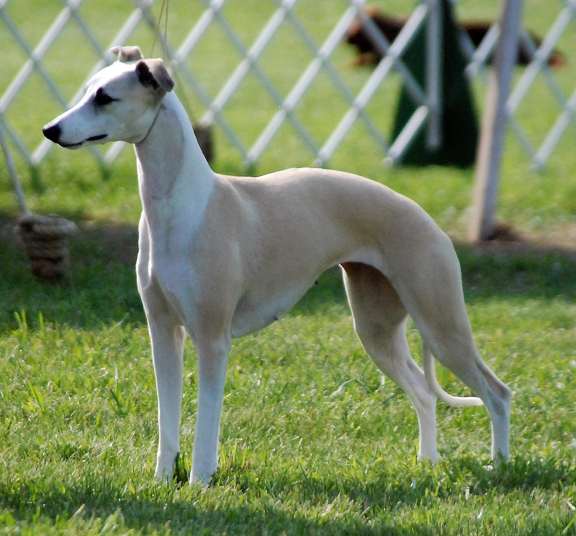 Longhaired Whippet Dog: Longhaired Cute Longhaired Whippet Dog Breed