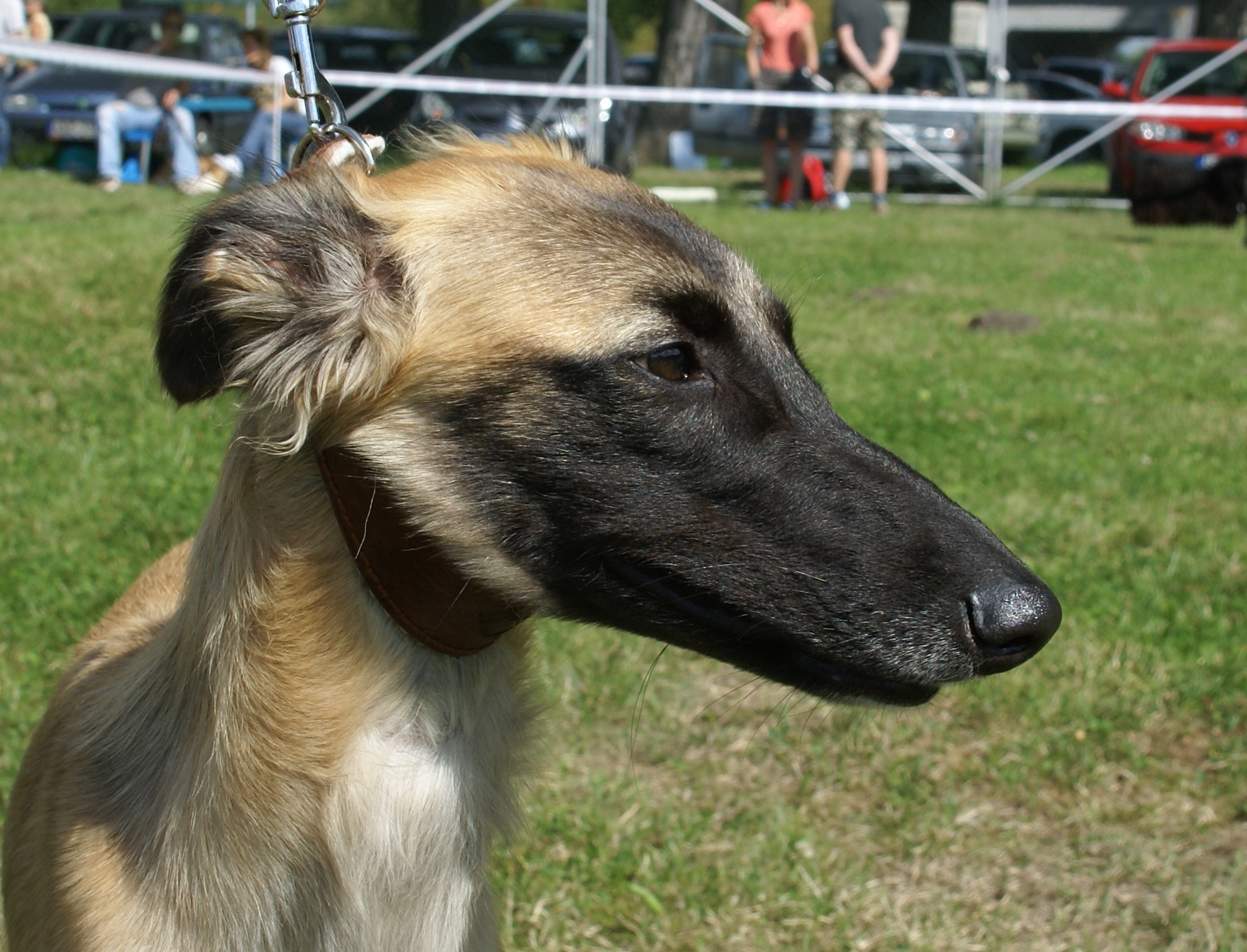 Longhaired Whippet Dog: Longhaired Dic Breed