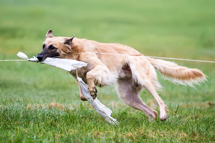 Longhaired Whippet Dog: Longhaired Dog Sports Graphy Breed