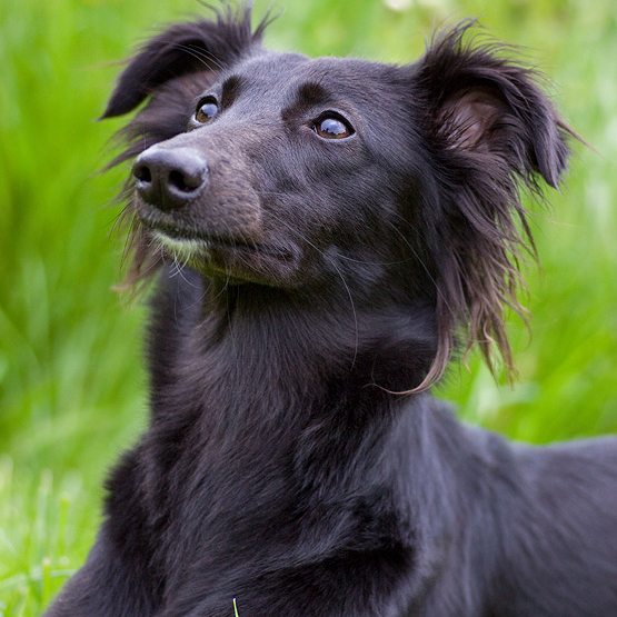 Longhaired Whippet Puppies: Longhaired Longhaired Whippet Breed