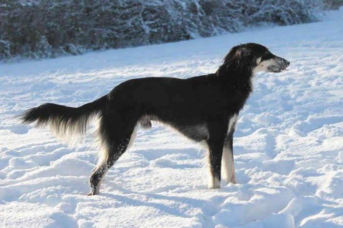 Longhaired Whippet Dog: Longhaired Longhaired Whippet Stud Dogs Breed
