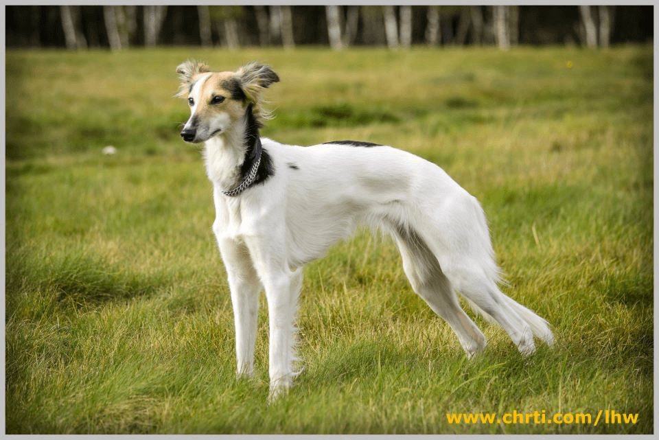 Longhaired Whippet Dog: Longhaired Longhairedwhippet Breed