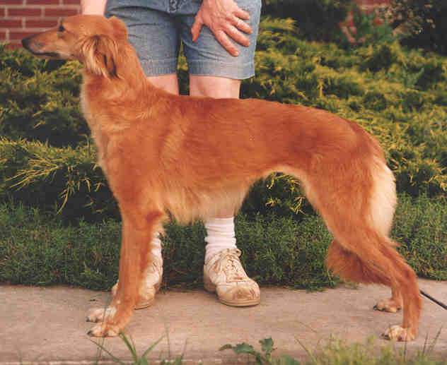 Longhaired Whippet Dog: Longhaired Longhairedwhippetcharacteristics Breed