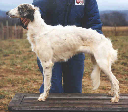 Longhaired Whippet Puppies: Longhaired Mores Breed